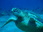 Zion the Turtle, who lives off Kamaole 3 Beach, Maui