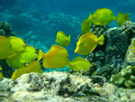 School of yellow tang fish underwater
